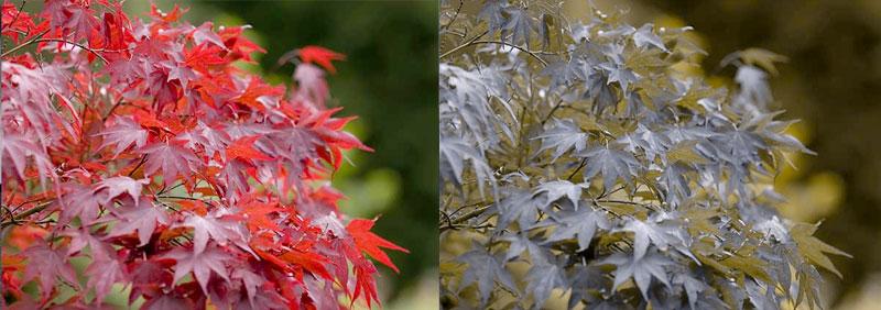 external image jap-maple-pair-411691.jpg